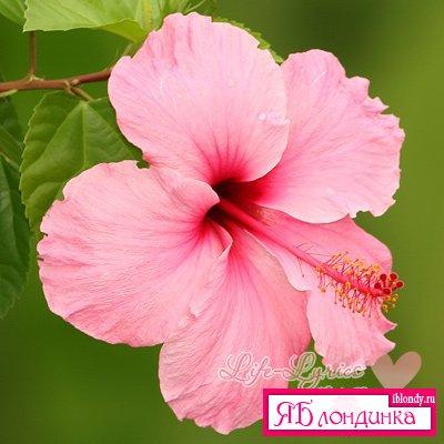 Гибискус - китайская роза