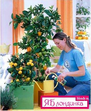 Комнатный лимон. Условия выращивания