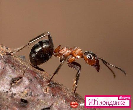 Мир захватила гигантская колония аргентинских муравьев